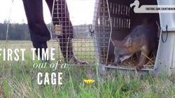 Spaesati e felici. Questi animali vengono liberati per la prima volta