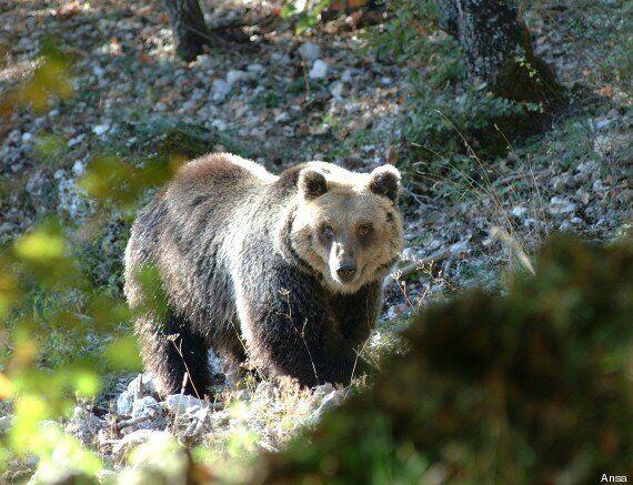 Podista aggredito da un orso, la provincia di Trento: