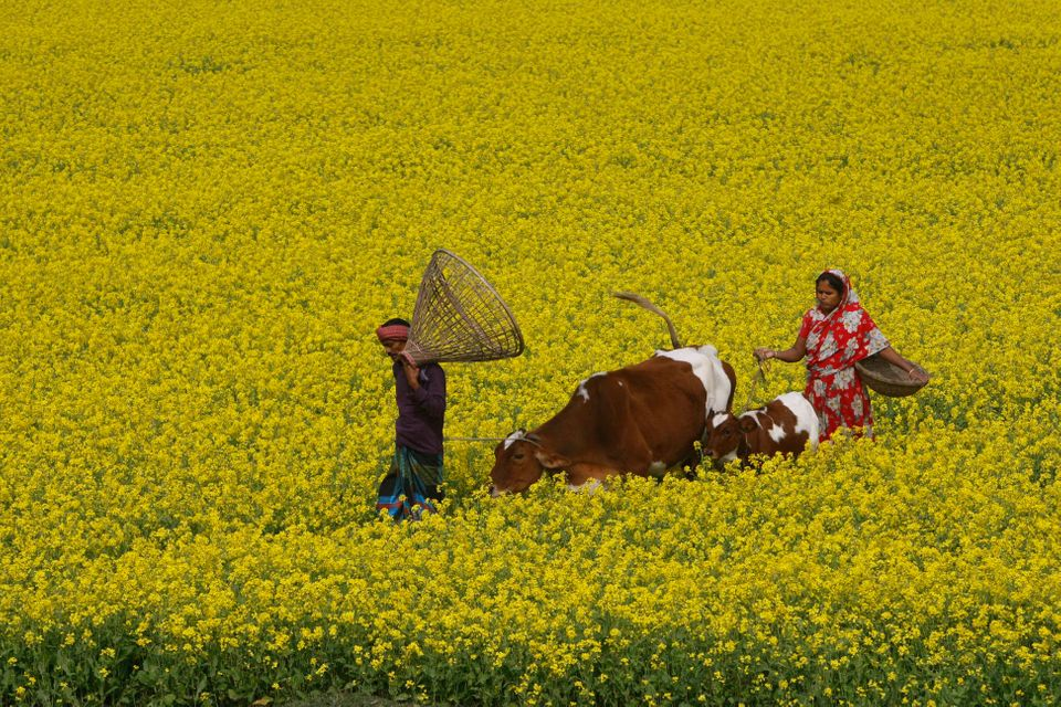 Farmers walk with their cattle through a mustard field at Singair, outskirts of Dhaka, Bangladesh, Thursday, Dec. 27, 2012. (