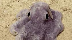 Dumbo, il piccolo polpo che nuota con le orecchie