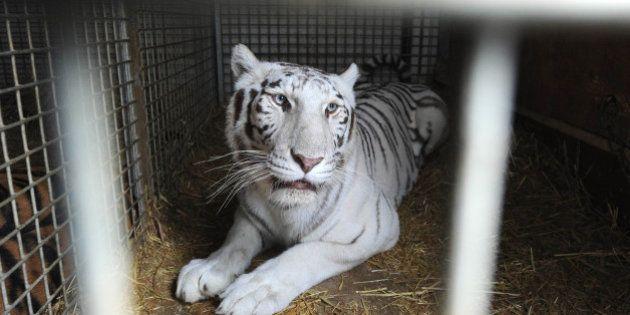 Georgia, animali scappati dallo zoo: tigre bianca uccide un uomo nel suo magazzino