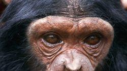 Gli scimpanzé riescono a imparare i richiami. È l'origine del linguaggio?