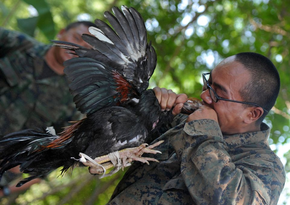 A US Marine bites into a slaughtered chicken during a jungle survival program as part of the annual combined military exercis