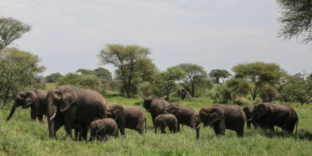 In this photo taken Friday, Jan. 16, 2015, a herd of African elephants gather in Tarangire National Park...