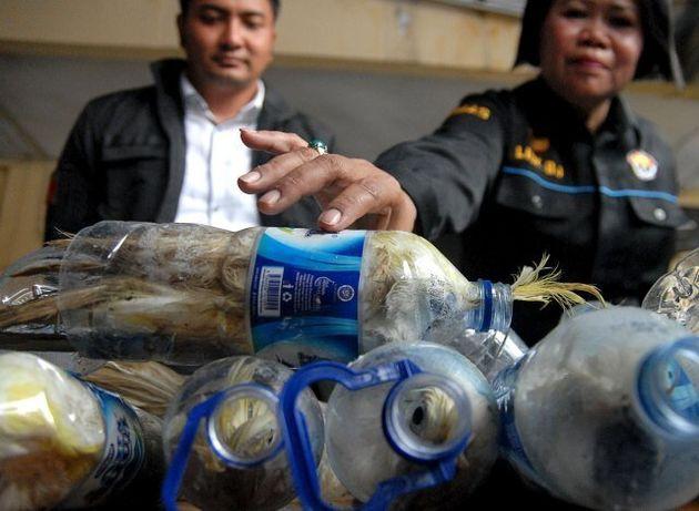 Pappagalli in bottiglie di plastica: l'orrore dei contrabbandieri in Indonesia. Salvati