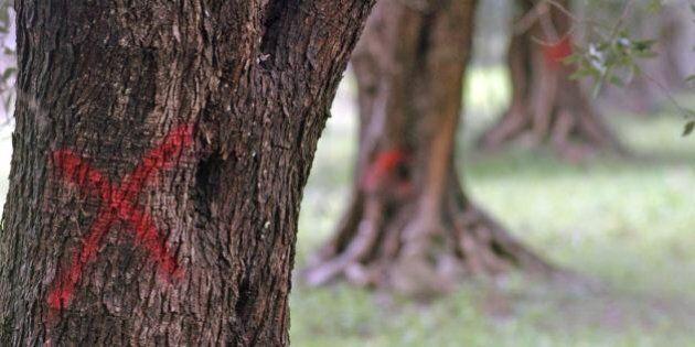 Xylella, Tar del Lazio ha sospeso il piano d'emergenza per il batterio degli ulivi in Puglia
