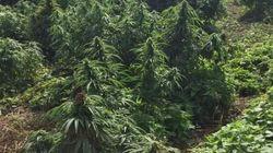 A Londra una foresta di marijuana grande come un campo da