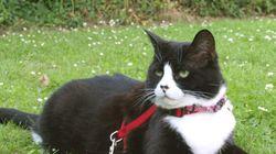 Portare il gatto al guinzaglio non è una trovata senza