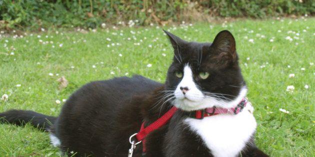 Portare il gatto al guinzaglio non è una trovata senza senso. Ecco perché dovresti abituarlo ad uscire...