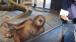 La risata di questo orango ha stregato almeno 5.666.867
