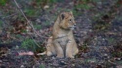 Il re leoncino. Porta il guardiano dalla mamma