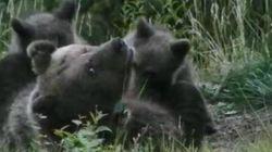 L'orsa Daniza gioca a