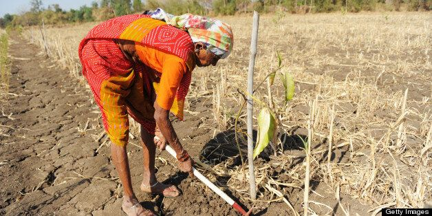Indian farmer, Kumniben Gelabhai Chaudhry, works in her field at Selarpur village in Surat district, some 260 kms from Ahmeda