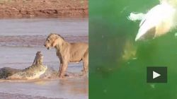 Leone mangia coccodrillo. Pesce gigante mangia squalo