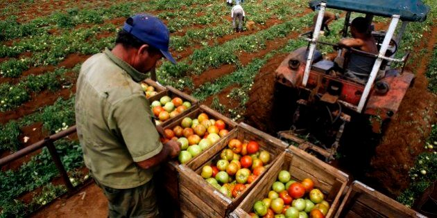 A farmer collects tomatoes on a tractor in a farm in Guira de Melena, 50 kms (80 miles) south of Havana,...