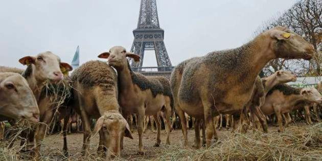 250 pecore davanti alla Torre Eiffel. La protesta dei pastori a Parigi contro la legge che tutela i lupi