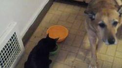 Gatti diabolici rubano il cibo a cani sottomessi