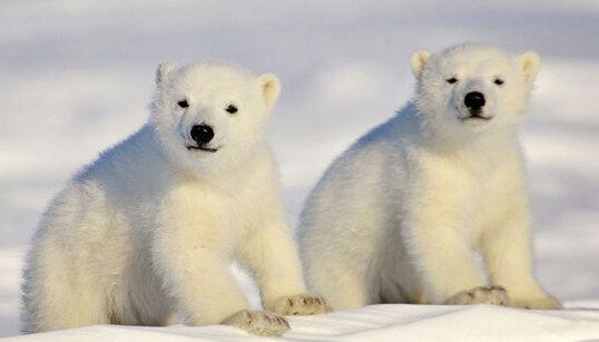 Sarebbe un peccato perderli! Gli orsi polari sono sempre più a rischio