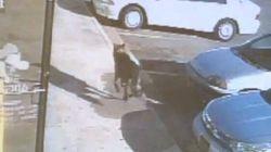 Noah cane-eroe salva la famiglia dagli spari e muore (FOTO,