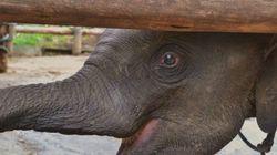 I bracconieri in cerca d'avorio minacciano la sopravvivenza dell'elefante africano