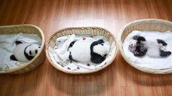 Niente è più tenero di un panda in una cesta di vimini