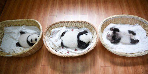 I cuccioli di panda che dormono nella cesta di vimini sono il massimo della tenerezza