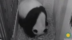 La panda partorisce in diretta