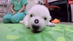 I primi tre mesi di questa cucciola di orso polare vi scalderà il
