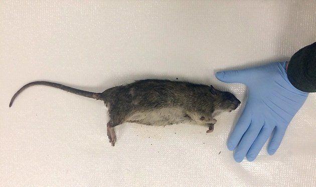 Ecco quanto pesano al massimo i ratti di New York, la dimostrazione di alcuni ricercatori
