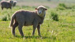 Pasqua senza agnelli e senza