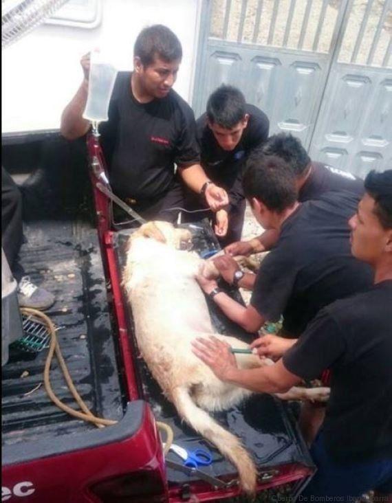 Addio al cane eroe che salvò 7 persone dalle macerie durante il terremoto in Ecuador. I vigili del fuoco...