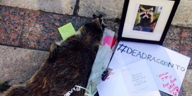 #DeadRaccoonTO, Toronto dedica un memoriale ad un procione morto. L'animale non viene rimosso per 14...