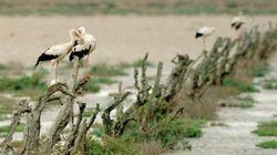 Le cicogne smettono di migrare: ora si nutrono nelle