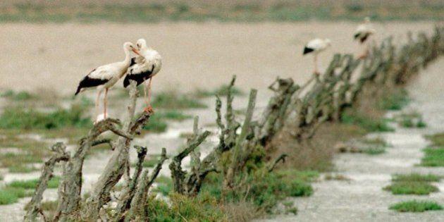 Le cicogne smettono di migrare e si danno al 'junk food'. In Europa anche d'inverno, si nutrono nelle