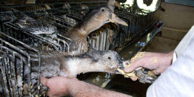 Foie gras: anatre e oche maltrattate e ingozzate con un tubo per ingrassare in pochi giorni. La denuncia...