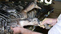 Oche ingozzate con un tubo per farle ingrassare: così si fa il foie