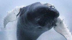 Lo spettacolare salto di una balena a pochi metri dai whale watchers