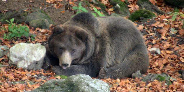 Gli orsi in Trentino sono troppi: chiesta la licenza per ucciderli e la chiusura del progetto