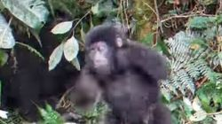 Il baby-gorilla tenta di battersi il petto ma va a finire
