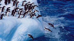 L'iceberg imprigiona i pinguini di Cape Denison: 190mila esemplari morti di fame dal