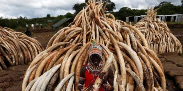 Kenya, al rogo 105 tonnellate di avorio confiscato. L'incendio per combattere il bracconaggio