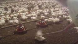 Una telecamera nascosta mostra le crudeltà nei confronti dei polli Mc