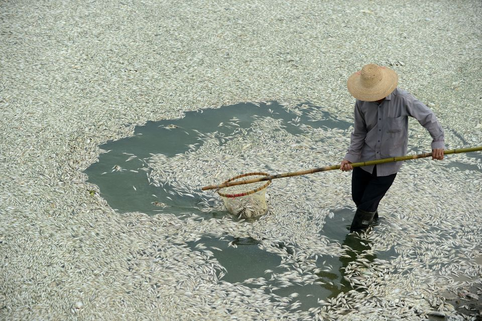 A resident clears dead fish from the Fuhe river in Wuhan, in central China's Hubei province on September 3, 2013 after large