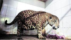 Salman, il giaguaro grasso che preferisce il cibo alla sua