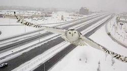 La webcam sul traffico cattura il volo del gufo delle