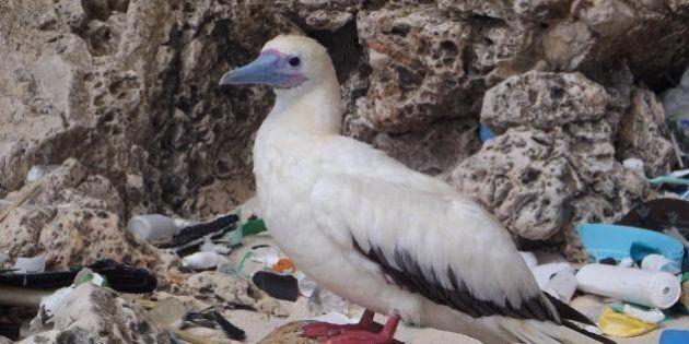 L'inquinamento degli oceani mette a rischio gli uccelli marini. La ricerca su PNAS: