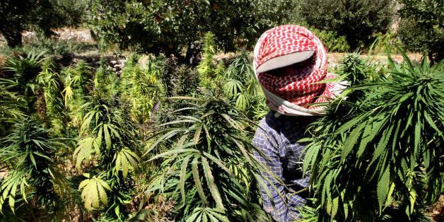 A Lebanese farmer harvests cannabis plants at a place somewhere in the Bekaa valley, 26 September 2007. Dozens of farmers acr