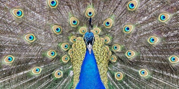 A peacock displays its colorful feathers at the zoo in Duisburg, Germany, Thursday, March 31, 2016. (AP...
