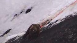 Così muore un orso colpito dai cacciatori (che esultano)