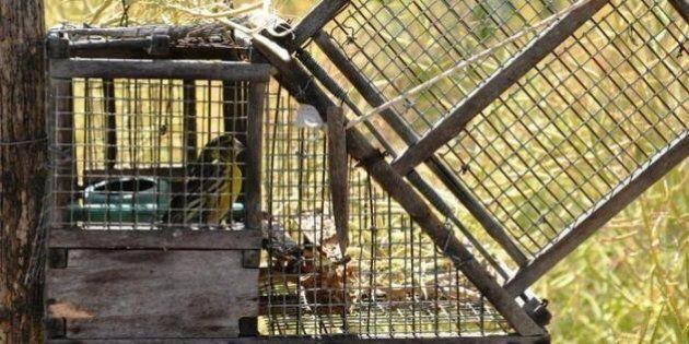 Uccellagione finalmente proibita, mai più richiami vivi nelle